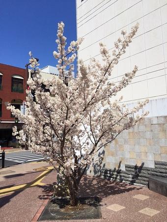 春めき桜今が盛り