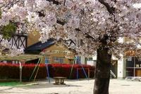 見納め ルーテル幼稚園の桜