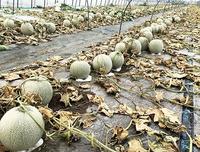 年商1億円農家の収穫直前メロン6600個が被害