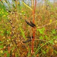 カラスノエンドウの種まき