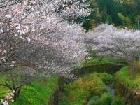 小原の四季桜
