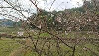 四季桜が花を付けた