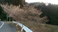 不思議な四季桜