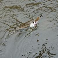 明智川でアマゴ釣り