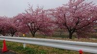 岡崎の河津桜