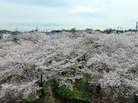 豊田市で桜