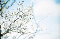 平芝梅林公園の梅