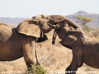 アフリカゾウを密猟から守りたい!!