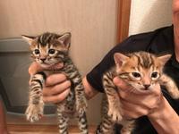 猫 ベンガルの赤ちゃん