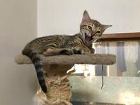 ベンガル猫  チャッピー