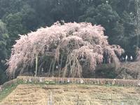 奥山田の枝垂れ桜