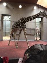 キリンの親子✴︎天王寺動物園