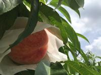 桃の実の袋掛け たくさんの手間と愛情が入っています 2018/06/26 18:28:22