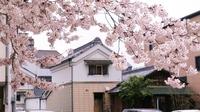 純米吟醸「夢農人」で夜桜を楽しむ