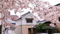 風外さんとのコラボ桜餅とお抹茶セット500円!