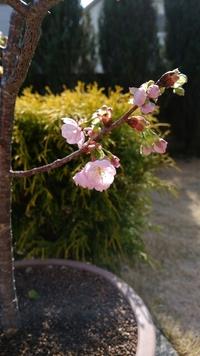 桜、開花しました
