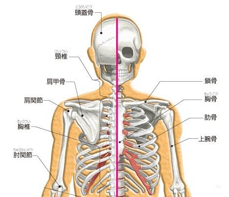 骨格上半身