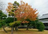色づきの悪い紅葉は老木!?樹木も人も同じことのようです