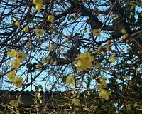 蝋梅が咲く