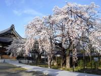 しだれ桜!満開!