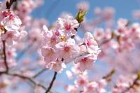 春ですねぇ~・・・葵桜満開!