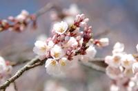 行福寺 しだれ桜