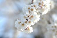 今朝のしだれ桜