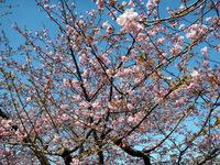 葵桜!7分咲き?
