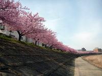 春爛漫!葵桜満開!!