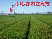日本人なら、緑茶でしょ!いしかわ製茶